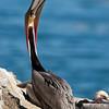 California Brown Pelican Stretching