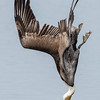 California Brown Pelican dive