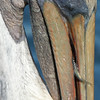 California Brown Pelican Close up