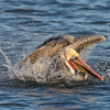 Brown Pelican bathing