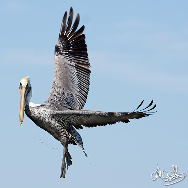 California Brown Pelican Ballet in Flight