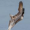 California Brown Pelican dive