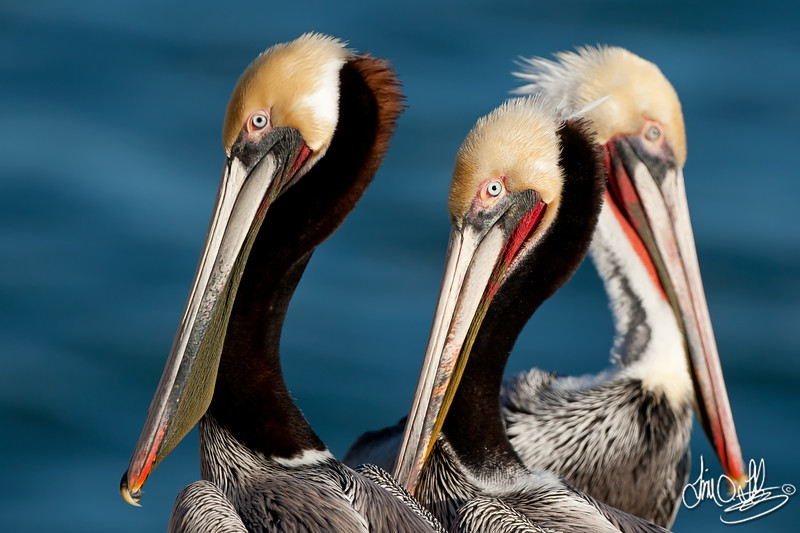 California Brown Pelicans in Breeding Plumage