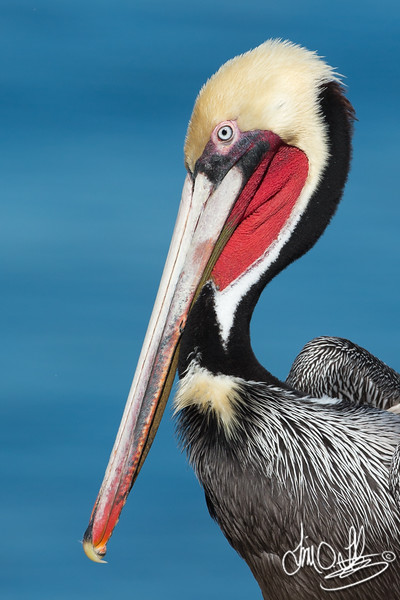 California Brown Pelican in Breeding Plumage