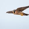 Peregrine Falcon soaring by