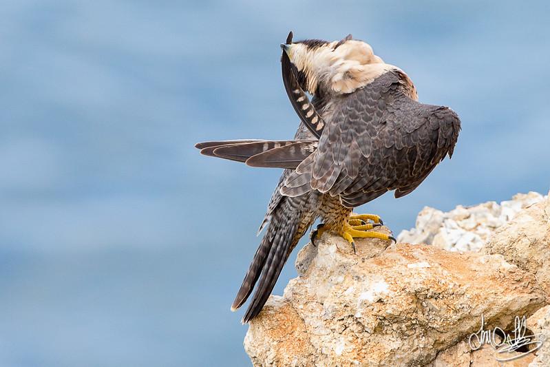 Peregrine Falcon preening