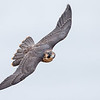 Juvenile Peregrine Falcon inflight