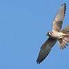 American Kestrel in-flight