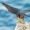 Peregrine Falcon stretching