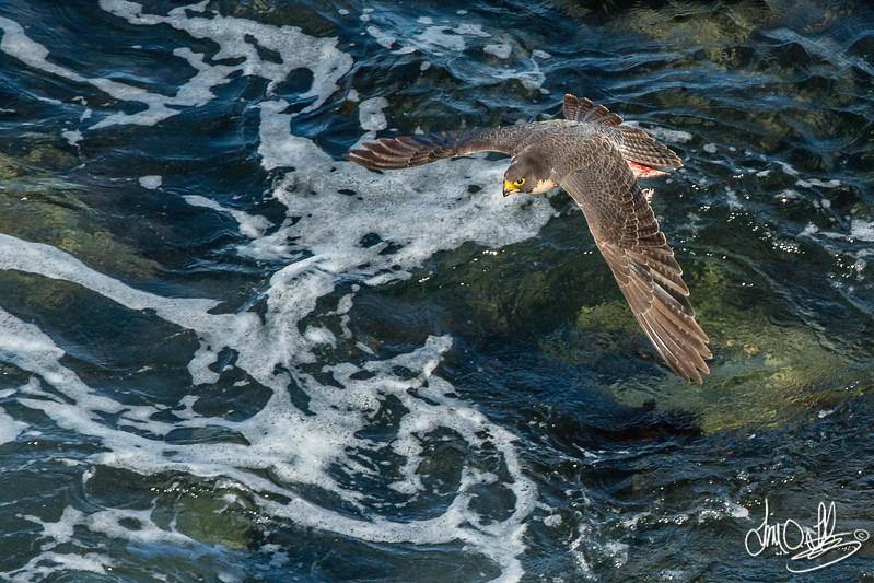 Peregrine Falcon female with prey