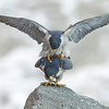 Peregrines Falcons mating