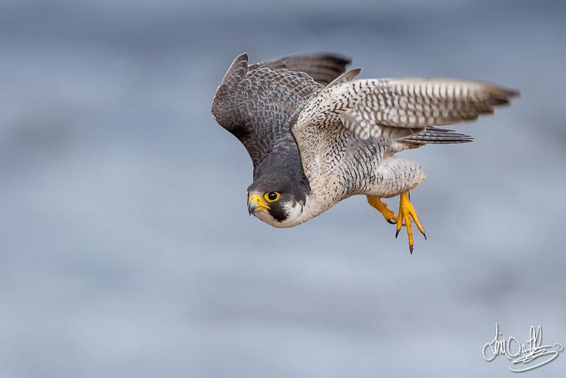 Peregrine Falcon tiercel
