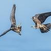 Peregrine Falcon juveniles at play