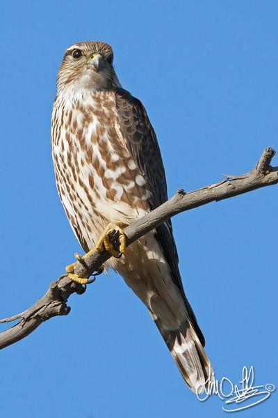Merlin Falcon (female)