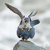 Peregrines Falcons mating