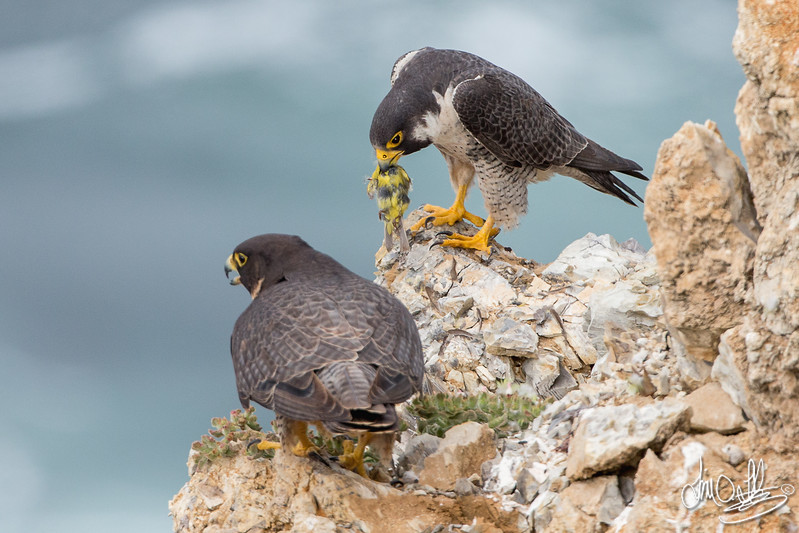 Peregrine Falcons with a goldfinch