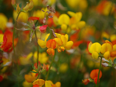 Down with the Birdsfoot Trefoil