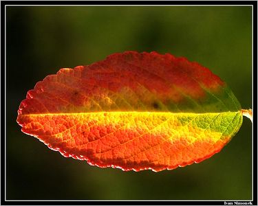 """PAINTED BY NATURE"", nootka rose leaf, natural fall colors, Wrangell, Alaska, USA.-----""VYMALOVANO PRIRODOU"", rosa nutkana, prirodni podzimni barvy, Wrangell, Aljaska, USA."