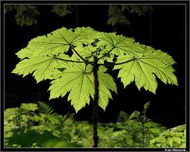 """THE MOST HATED "" plant of alaskan rainforest, Devil`s club.Wrangell, Alaska, USA.-----""NEJNENAVIDENEJSI"" rostlina aljasskeho destneho pralesa, Oplopanax horridus."