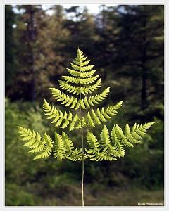 """FERN TREE"", Wrangell, Alaska, USA.-----""KAPRADINOVY STROM""."