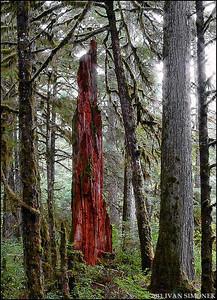"""DEAD TREE 1"",Wrangell,Alaska,USA."