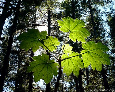 """REACHING FOR THE LIGHT"",Devil`s Club,Wrangell,Alaska,USA."
