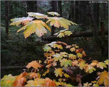 """RAINFOREST AUTUMN"", Wrangell, Alaska, USA."