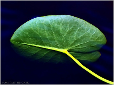 """YELLOW PONDLILY LEAF1"", underwater,Long lake,Wrangell,Alaska,USA."