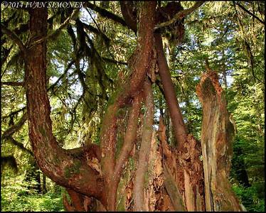 """""""WEIRD TREE"""",Wrangell,Alaska,USA."""