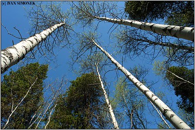 """REACHING FOR THE SKY"", Glenora guest ranch, B.C., Canada."