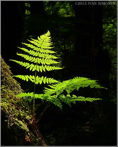 """RAINFOREST FERN"",Wrangell,Alaska,USA."