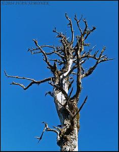 """""""DEAD TREE 3"""",Alaska,USA."""