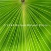Fan Palm Frond