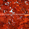 Red leaves in a tree in Rockville, MD  img008