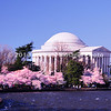 WashingtonDC pink Cherry Blossums line tidal basin at Jefferson Memorial  img