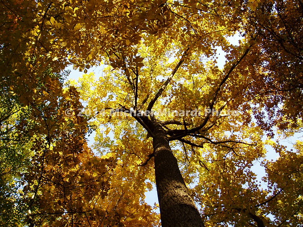 Looking up into the tree of yellow leaves  img004