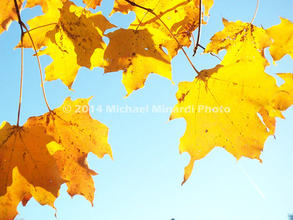 Yellow leaves with sun