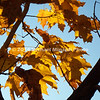 Orange leaves between two branches with blue sky  img031