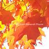 Orange & Yellow Fall leaves  img059