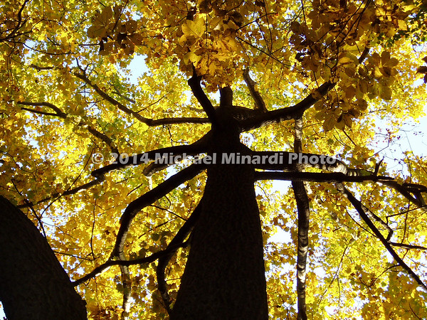 Giant Tree with yellow leaves  img001