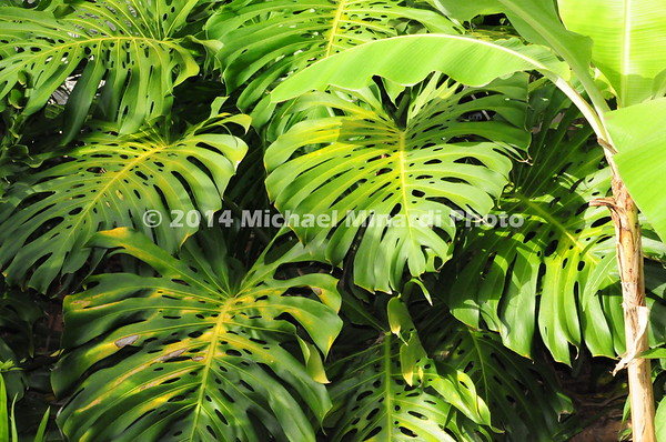 Variegated foliage  imgEPV1413