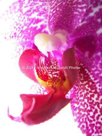 Orchid Tongue