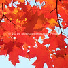 Red and Orange leaves  img067