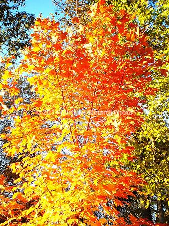 Orange & Yellow Tree  img049