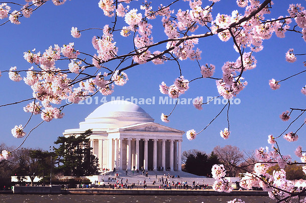 Cherry Blossums in DC