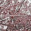 Pink Cheery blossums  imgDSC00421