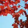 Red and brown leaves against a blue sky  img063
