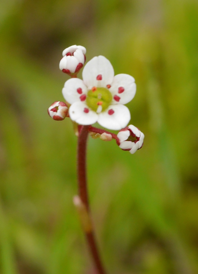 A single saxifrage flower and some buds.
