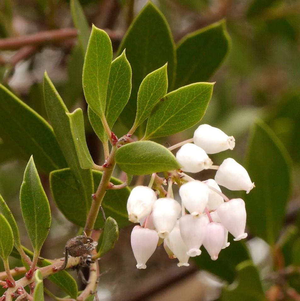 A manzanita bush nearby was in full bloom.