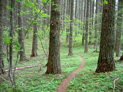 Douglas fir trees, Pseudotsuga menziesii